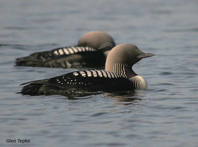 Pacific Loon - Glen Tepke
