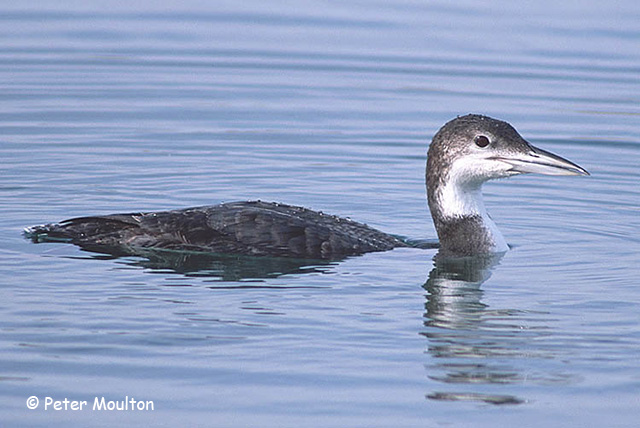 Common Loon - Peter Moulton