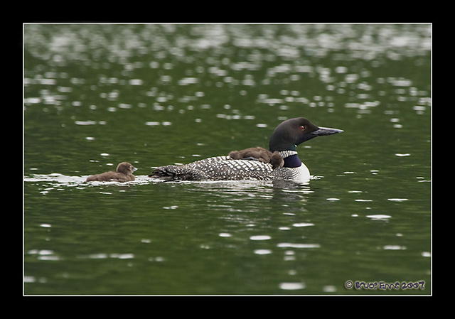 Common Loon - Bruce Enns