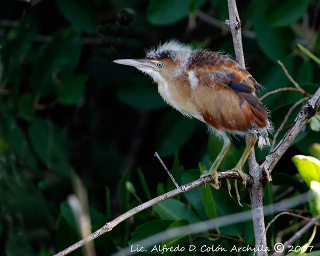 Least Bittern - Alfredo D. Colon