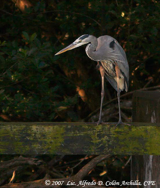 Great Blue Heron - Alfredo D. Colon