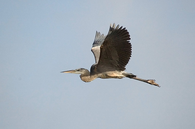 Great Blue Heron - Richard Stern