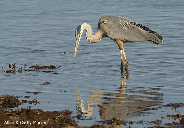 Great Blue Heron - Allan and Cathy Murrant