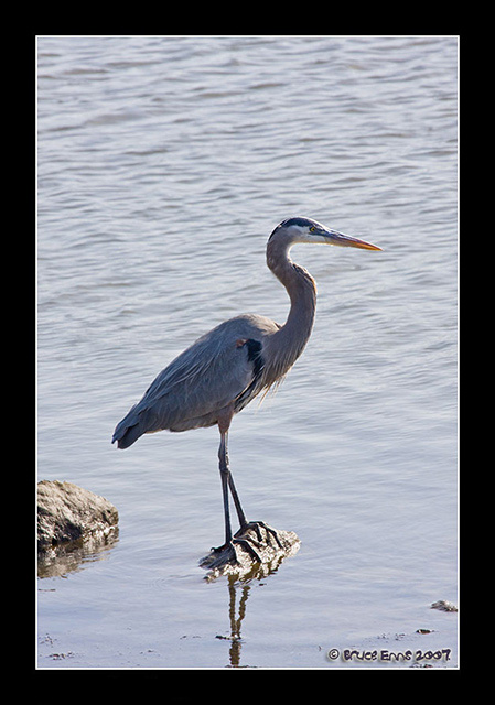 Great Blue Heron - Bruce Enns