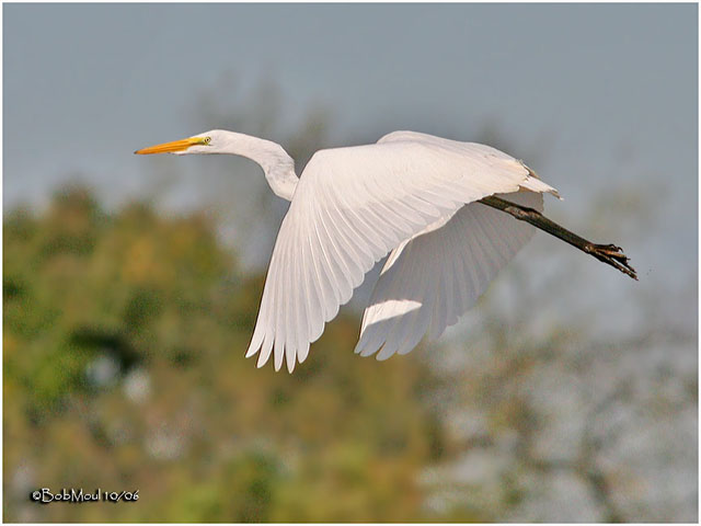 Great Egret - Bob Moul