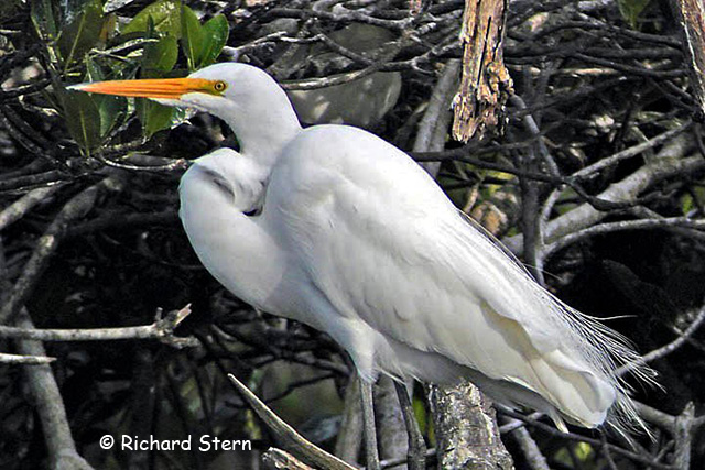 Great Egret - Richard Stern