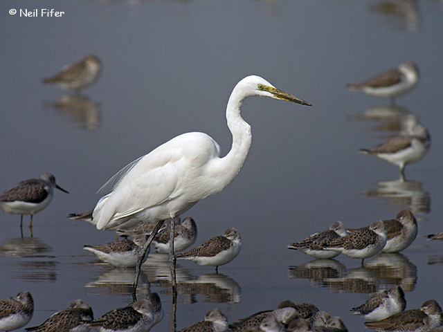 Great Egret - Neil Fifer