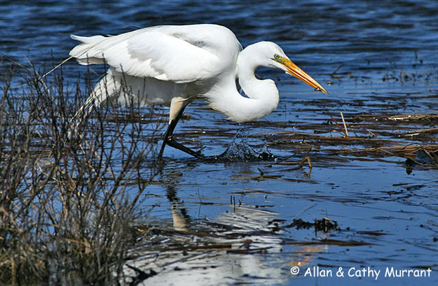 Great Egret - Allan and Cathy Murrant
