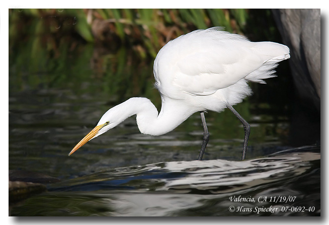 Great Egret - Hans Spiecker