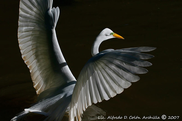 Great Egret - Alfredo D. Colon