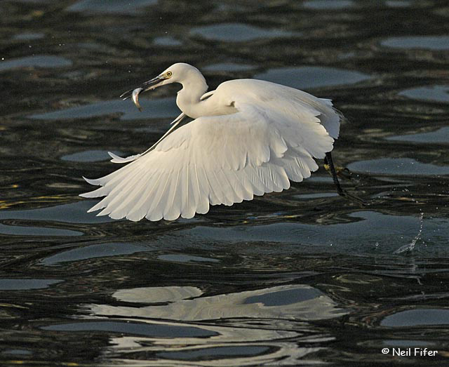 Little Egret - Neil Fifer