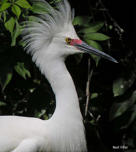 Snowy Egret - Neil Fifer