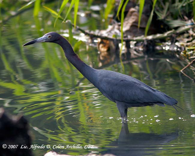 Little Blue Heron - Alfredo D. Colon