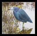Little Blue Heron - Bruce Enns