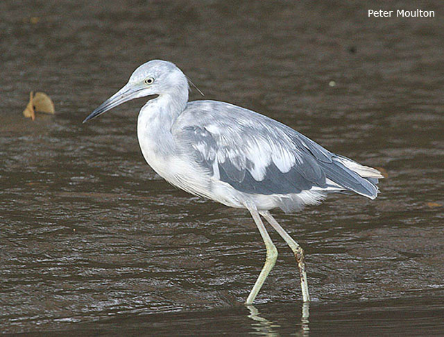 Little Blue Heron - Peter Moulton