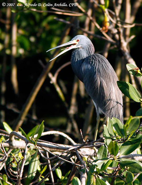 Tricolored Heron - Alfredo D. Colon