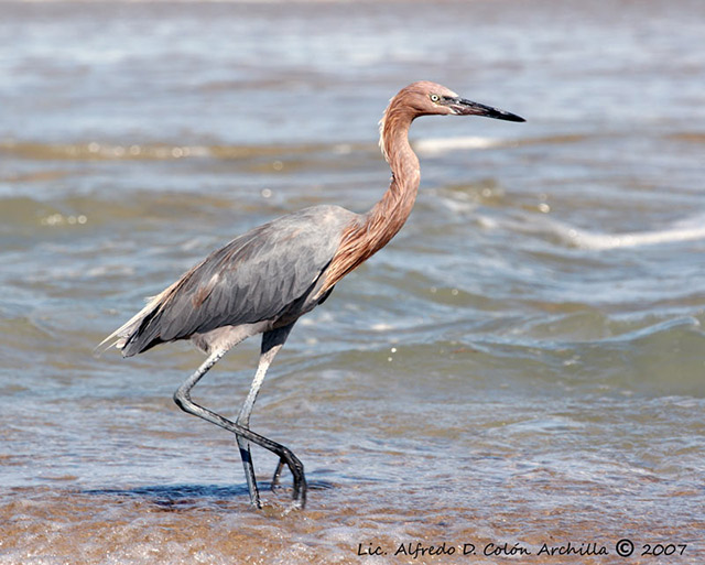 Reddish Egret - Alfredo D. Colon