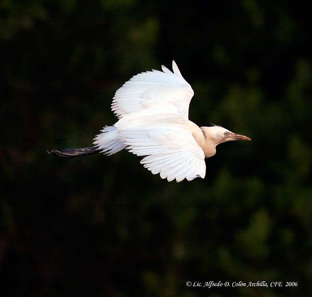 Cattle Egret - Alfredo D. Colon