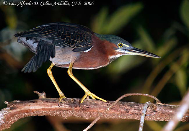 Green Heron - Alfredo D. Colon