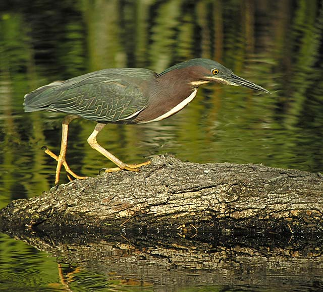 Green Heron - Neil Fifer