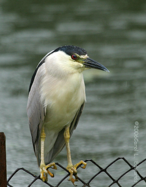Black-crowned Night Heron - Carol L. Edwards