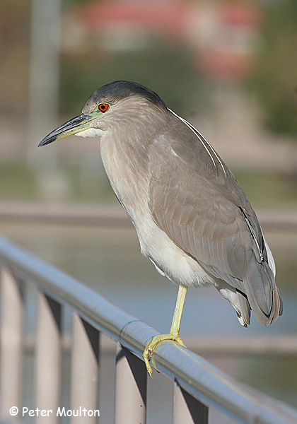 Black-crowned Night Heron - Peter Moulton