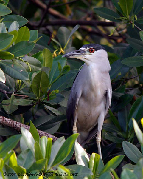 Black-crowned Night Heron - Alfredo D. Colon