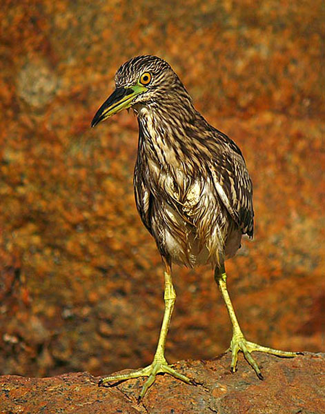 Black-crowned Night Heron - Neil Fifer
