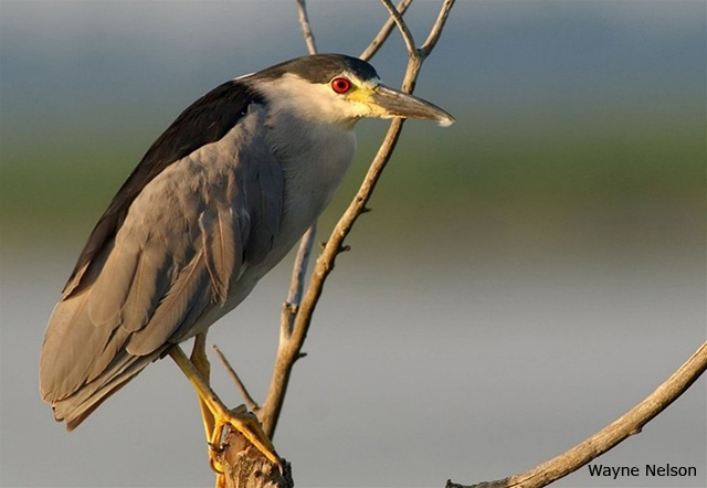 Black-crowned Night Heron - Wayne Nelson