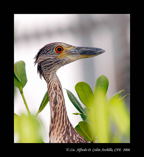 Yellow-crowned Night Heron - Alfredo D. Colon