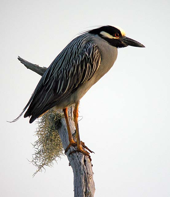 Yellow-crowned Night Heron - Neil Fifer