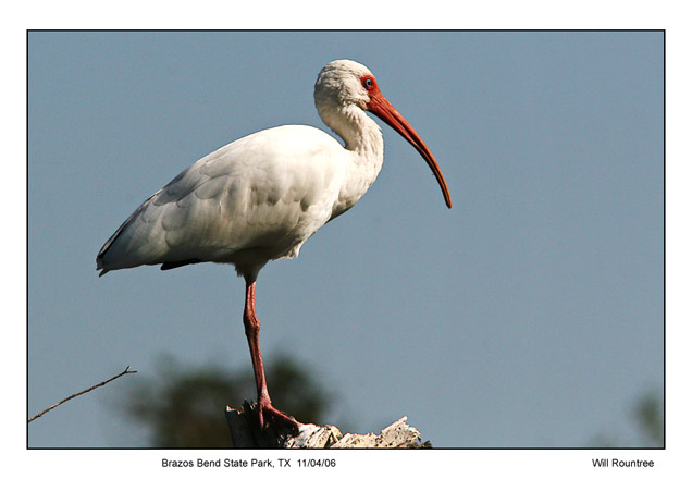White Ibis - Will Rountree