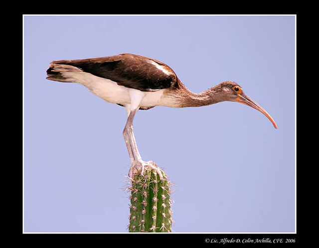 White Ibis - Alfredo D. Colon