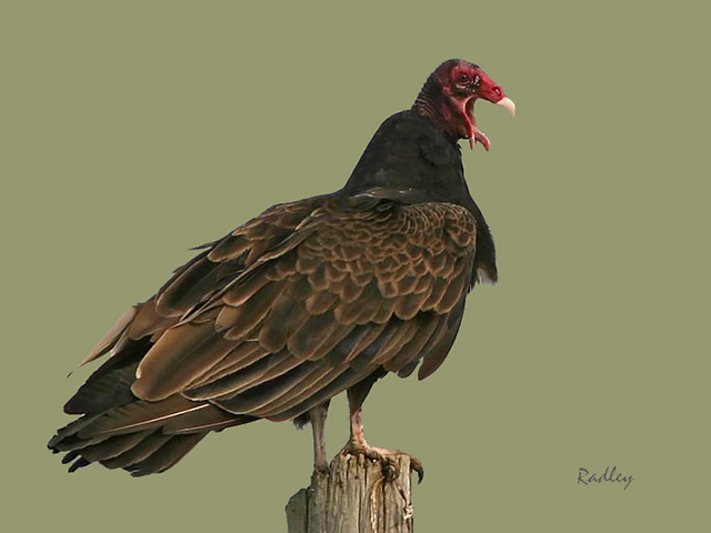 Turkey Vulture - Claude Radley