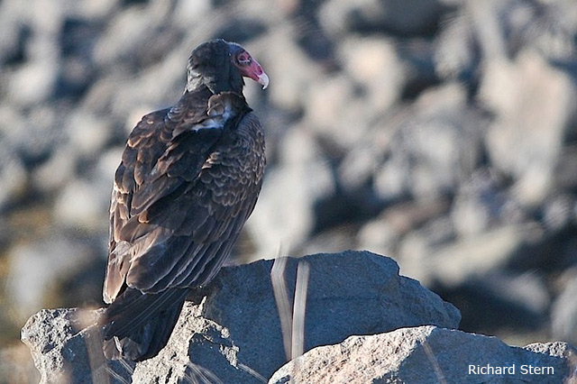 Turkey Vulture - Richard Stern