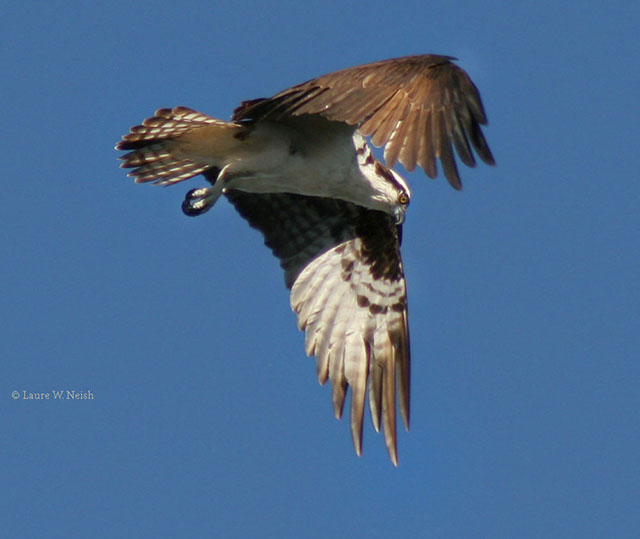 Osprey - Laure W. Neish