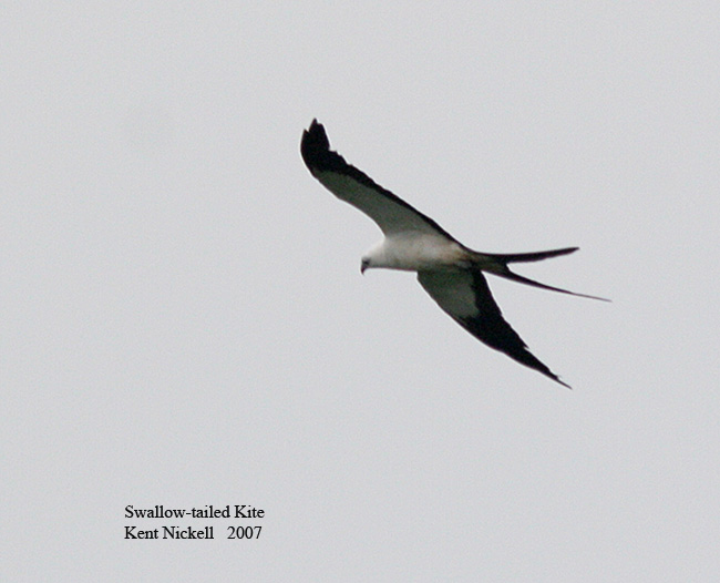 Swallow-tailed Kite - Kent Nickell