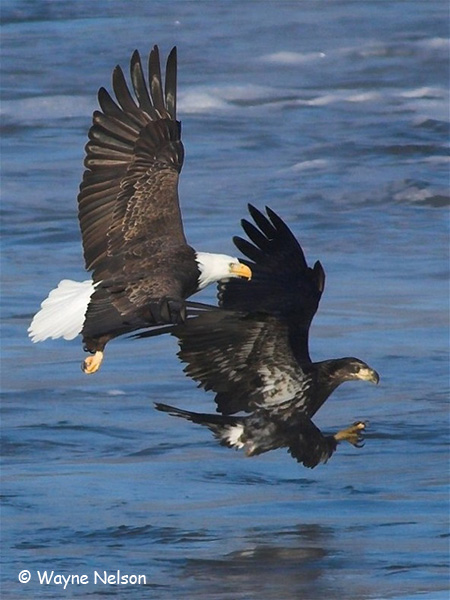 Bald Eagle - Wayne Nelson