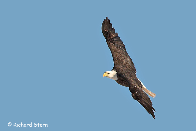 Bald Eagle - Richard Stern