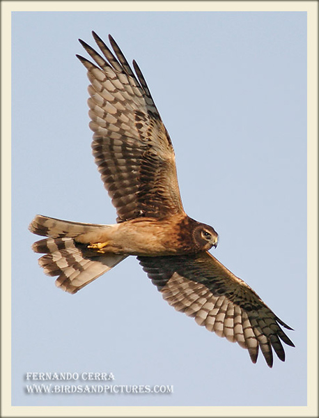 Northern Harrier - Fernando Cerra