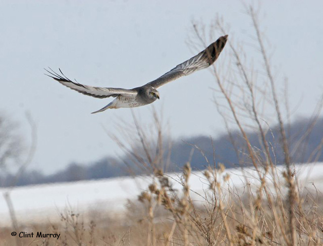 Northern Harrier - Clint Murray