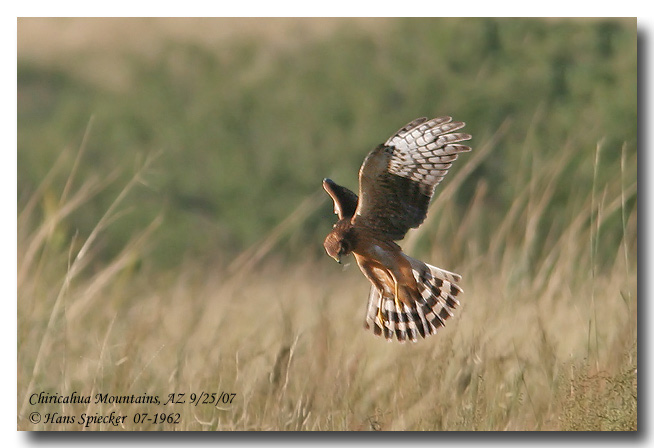 Northern Harrier - Hans Spiecker