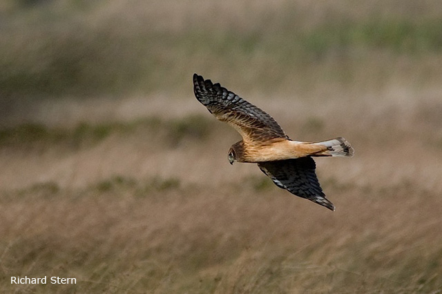 Northern Harrier - Richard Stern