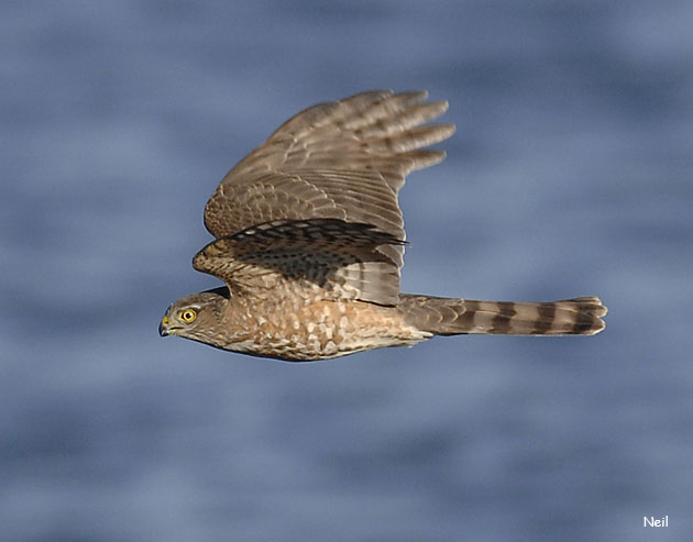 Sharp-shinned Hawk - Neil Fifer