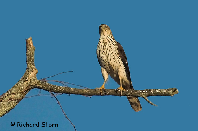 Sharp-shinned Hawk - Richard Stern