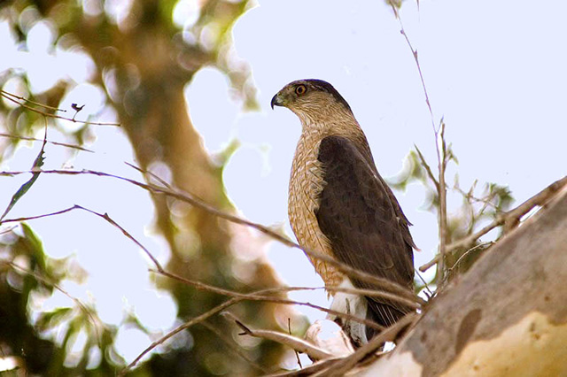 Cooper's Hawk - Richard Stern