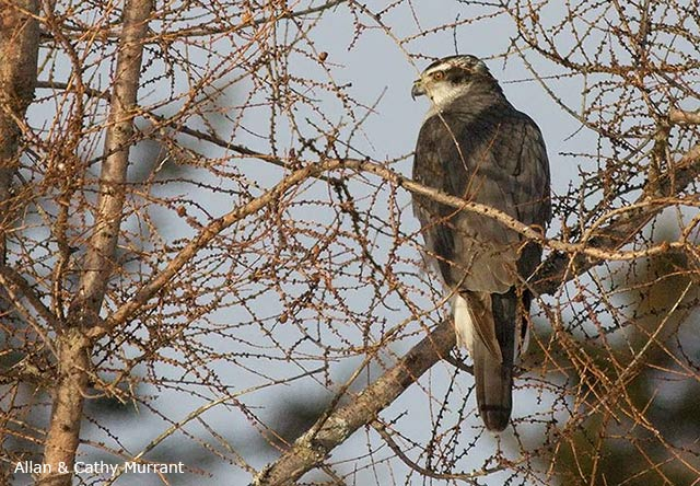Northern Goshawk - Allan and Cathy Murrant
