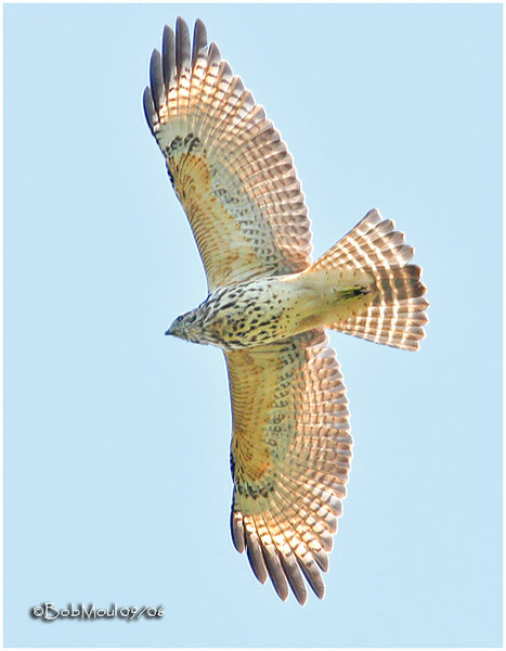 Red-shouldered Hawk - Bob Moul