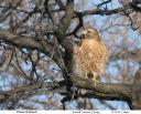Red-shouldered Hawk - Kanae Hirabayashi