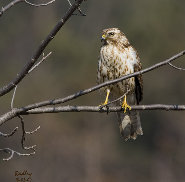 Red-shouldered Hawk - Claude Radley